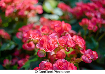 Numerous bright flowers of tuberous begonias (Begonia tuberhybrida) in garden