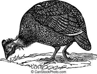 (numida, aves, guinea, meleagris), común, vendimia, engraving.