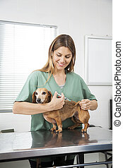 Nurse Giving Injection To Dachshund