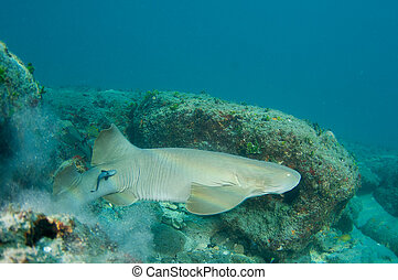 Nurse Shark, picture taken in south east Florida.