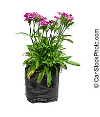 Nursery bags with dianthus flowers isolated on white background