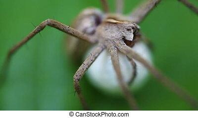 Nursery web Spider - Cocoon - macro - Nursery web Spider -...
