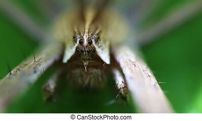 Nursery web Spider - Eyes - Eyes of Nursery web Spider -...