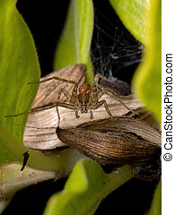 Nursery Web Spider of the Family Pisauridae