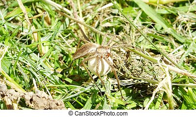 Nursery web spider (Pisaura mirabilis) of profile on grass protecting its cocoon in a sunlight