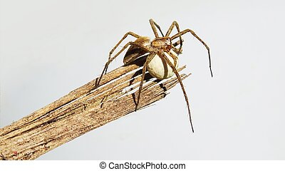 Nursery web spider (Pisaura mirabilis) on wooden branch protecting its cocoon on natural background