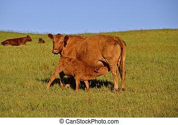 Nursing baby calf