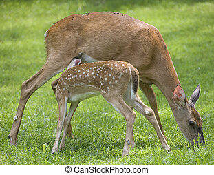 Nursing fawn - Whitetail deer fawn that is nursing on a doe ...