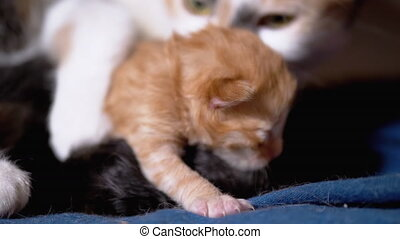 Nursing Mom Cat Hugs a Blind Newborn Ginger Kitten. Cute Cat Family. Kitten with Eyes Closed Lies near Mother Cat. Breastfeeding. Domestic cat feeds kittens. Close-up. Helpless kittens Slow Motion.