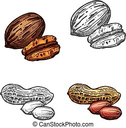 Nut and bean isolated sketch of peanut and pecan - Nut and...