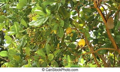 Nut Tree Cashew Growing Nuts. Busuanga, Palawan,...