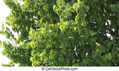 Nut tree in the wind