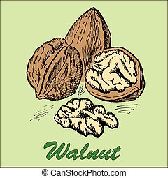nut walnut. hand drawing set of vector sketches