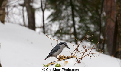 Nuthatch feeder in the forest - Birds eating seeds from the...