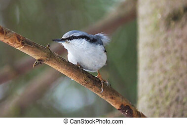 nuthatch on a tree in the forest