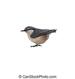 nuthatch on a white background isolated