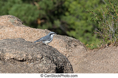 nuthatch on the forest background