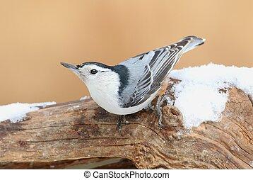 Nuthatch (sitta carolinensis) in snow - Nuthatch (sitta...