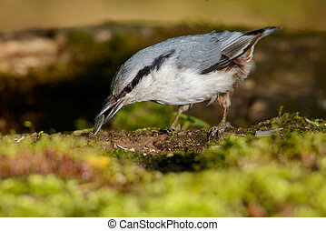 nuthatch sitting on a tree