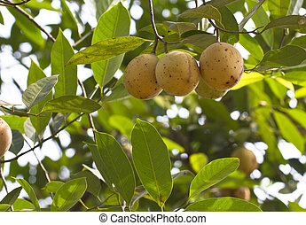 Nutmeg fruits on tree. The nutmeg tree is any of several...