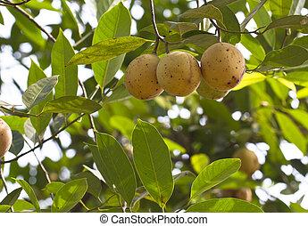 Nutmeg fruits on tree. The nutmeg tree is any of several...