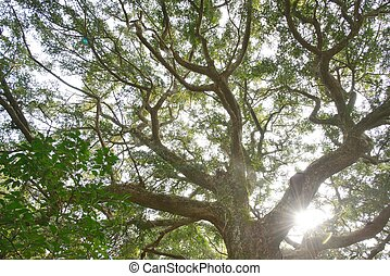 Nutmeg tree with backlight in National Nutmeg forest Park in...