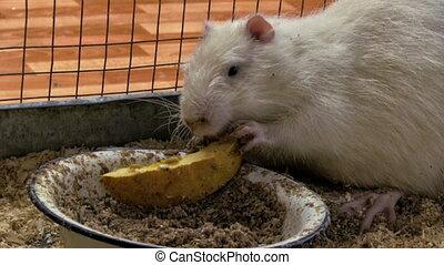 nutria - Nutria eating a pumpkin in a cage