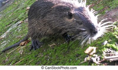 Nutria on banks of canal, search for food. Wild nutria...