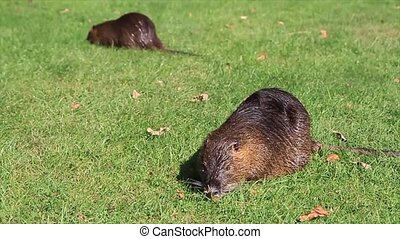 Nutria on the grass field
