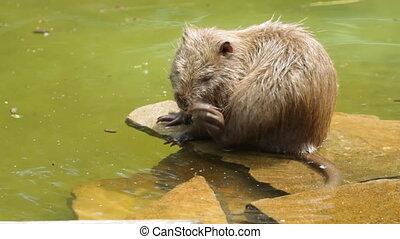 Nutria on the water - Myocastor coypus.Nutria on the water