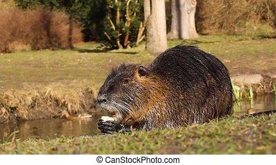 nutria, rivière, ou, coypus, rat, sauvage, myocastor