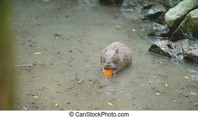 nutria, séance, carottes, étang, manger