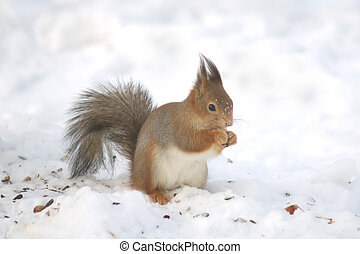 Nuts eating squirrel on the snow