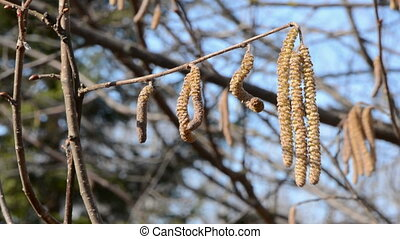 nutwood catkins in the wind