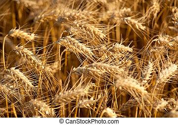 nyár, búza, igazságos, sárga terep, gabona, betakarít, előbb