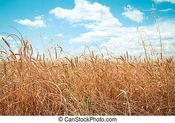 nyár, búza, nap, mező