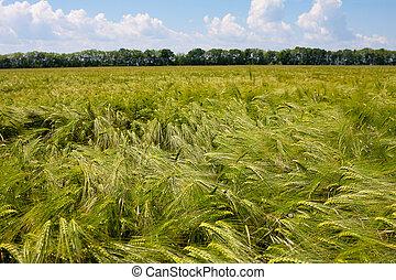 nyár, búza, zöld, nap, mező