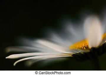 nyár, flower-, makro, virágzás, camomiles, fénykép