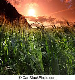 nyár, mező, közül, búza
