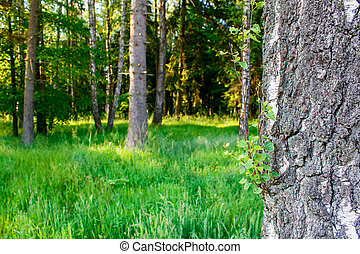 nyár, reggel, erdő