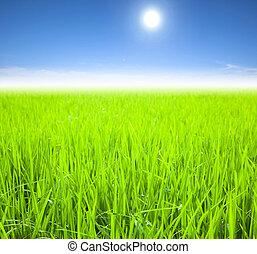nyár, rizs, zöld terep, reggel
