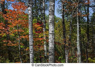 nyárfa, alatt, bukás, erdő
