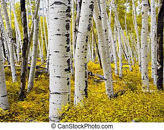 nyárfa, -, erdő, colorado