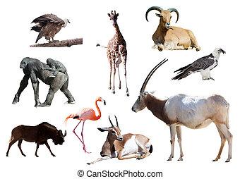nyársas antilop, Más, állatok, handzsár, afrikai