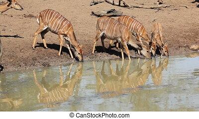 Female Nyala antelopes (Tragelaphus angasii) drinking water, Mkuze game reserve, South Africa