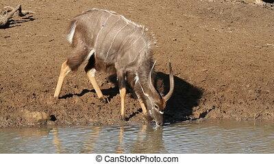 nyala, antilope, boire