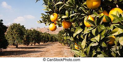 nyers, tanya, narancsfák, élelmiszer, gyümölcs, liget, narancs, mezőgazdaság, érés