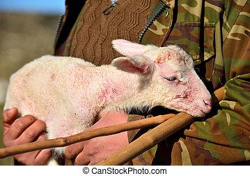 nyfödd, shepherds, lamm, bärande