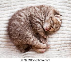 nyfödd, sova, brittisk, baby, kattunge