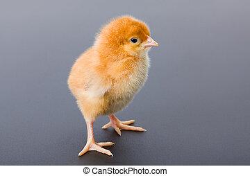 nyfødt, brun, kylling, på, gråne